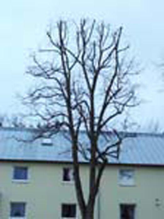 Bernd-Formann-Galabau--Baumschneidearbeiten-1